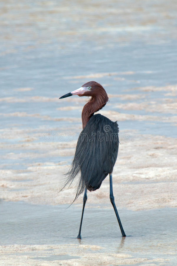 Windblown Mexican Reddish Egret (Egretta rufescens) hunting in the shallow tidal waters of the Isla Blanca peninsula stock images