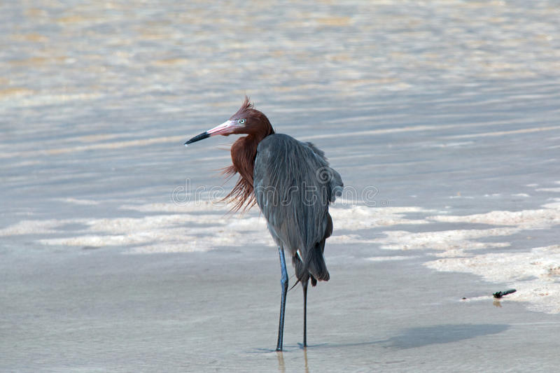 Windblown Mexican Reddish Egret (Egretta rufescens) hunting in the shallow tidal waters of the Isla Blanca peninsula royalty free stock images