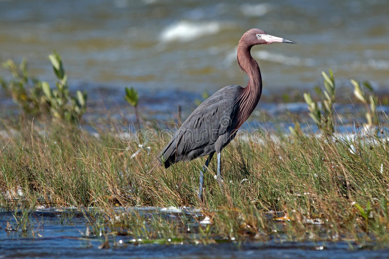 Windblown Mexican Reddish Egret (Egretta rufescens) hunting in the shallow tidal waters of the Isla Blanca royalty free stock photo