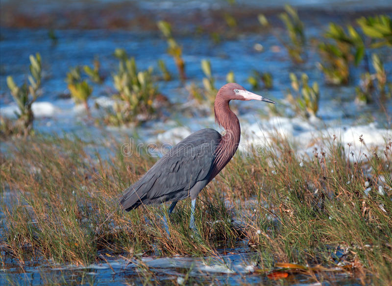 Windblown Mexican Reddish Egret (Egretta rufescens) hunting in the shallow tidal waters of the Isla Blanca stock images