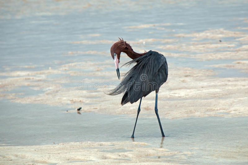 Windblown Mexican Reddish Egret (Egretta rufescens) preening in the shallow tidal waters of the Isla Blanca peninsula royalty free stock photos