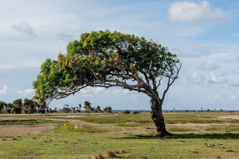 Windblown träd i amasonen royaltyfria foton
