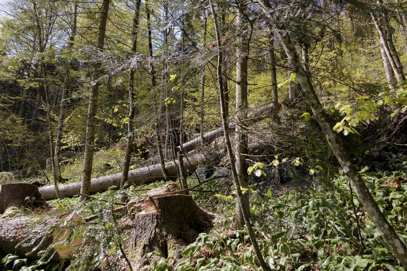 Windblown trees in the forest after strong storm royalty free stock photos