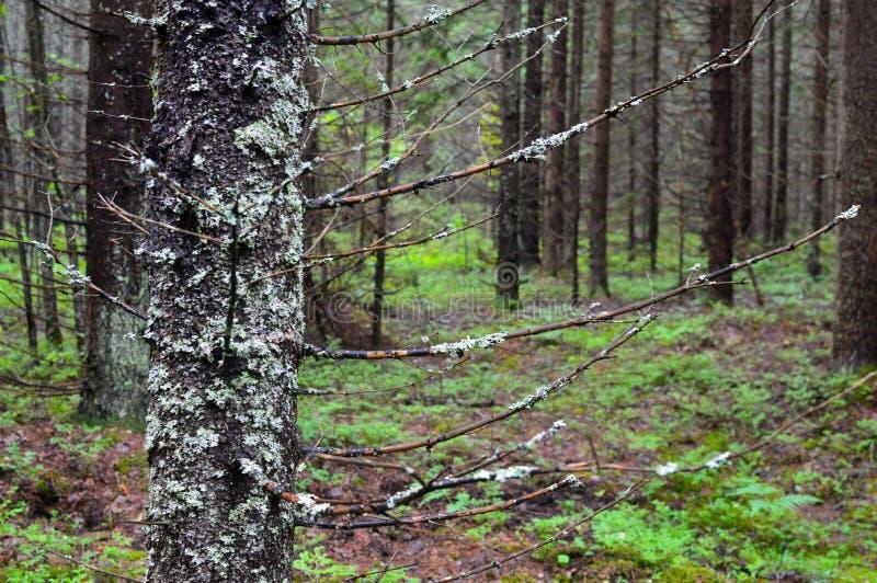 Russian ordinary impassable forest. Siberian taiga royalty free stock photos
