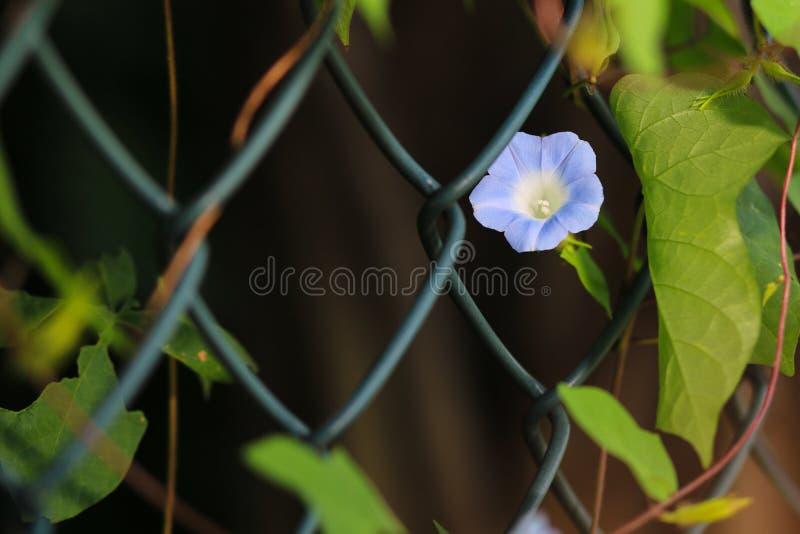 Winde in voller Blüte lizenzfreies stockfoto