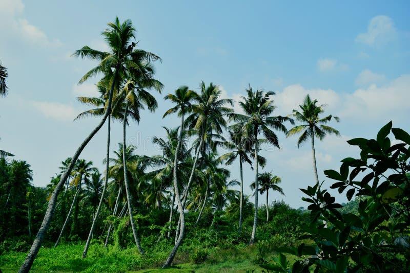 Windende Kokosnussbäume stockfotografie