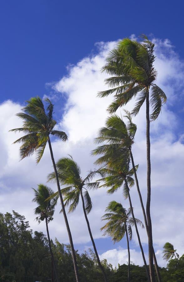 Winderige palmen royalty-vrije stock afbeeldingen