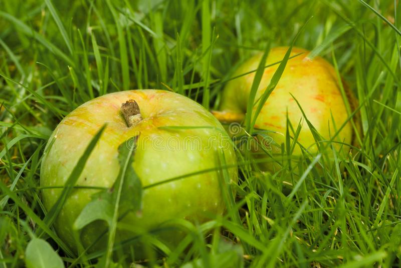 Windfall-Äpfel auf dem Boden stockfotos