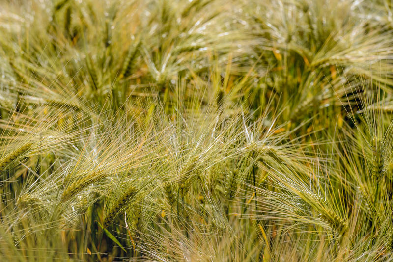 Windfallen ripening Einkorn wheat spikes from close. Closeup of ripening littlespelt ears toppled by the wind. It is summertime in the Netherlands stock photos