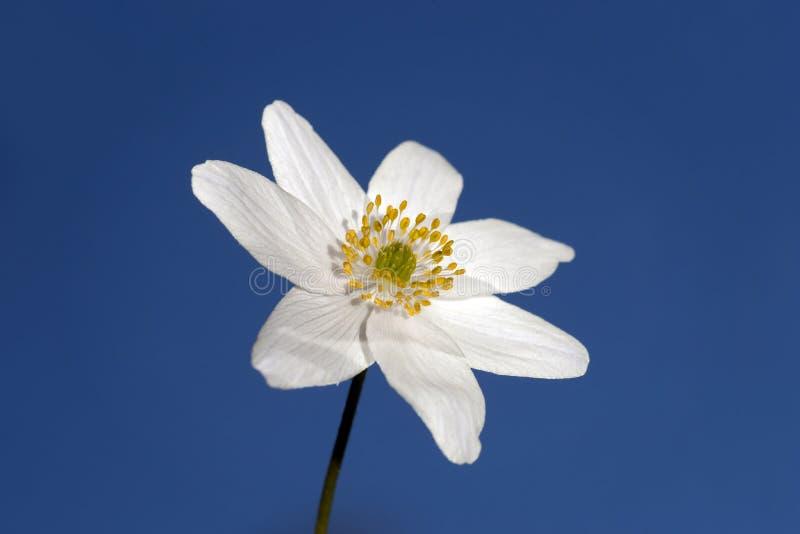 Windflower fotografía de archivo