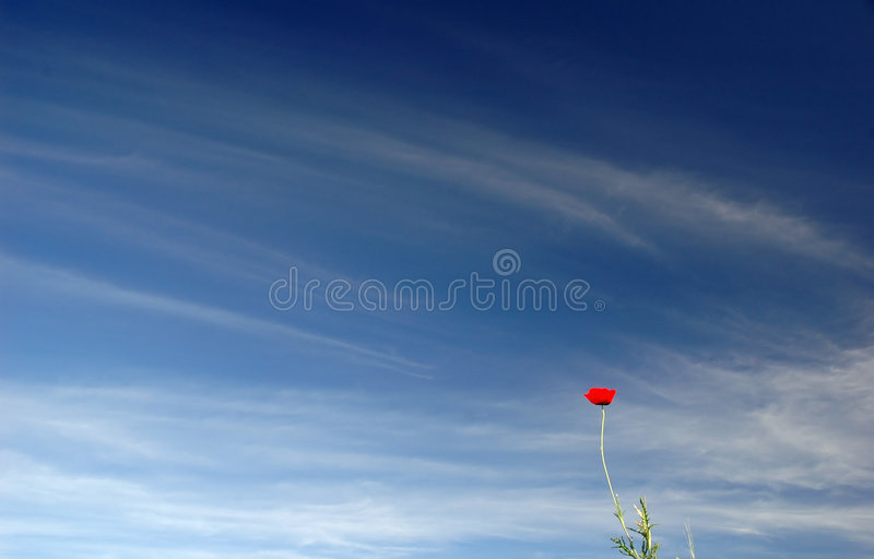 Windflower fotografía de archivo libre de regalías
