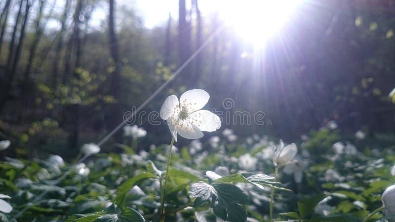 Windflower stock photos