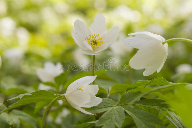 Windflower blanco imagen de archivo