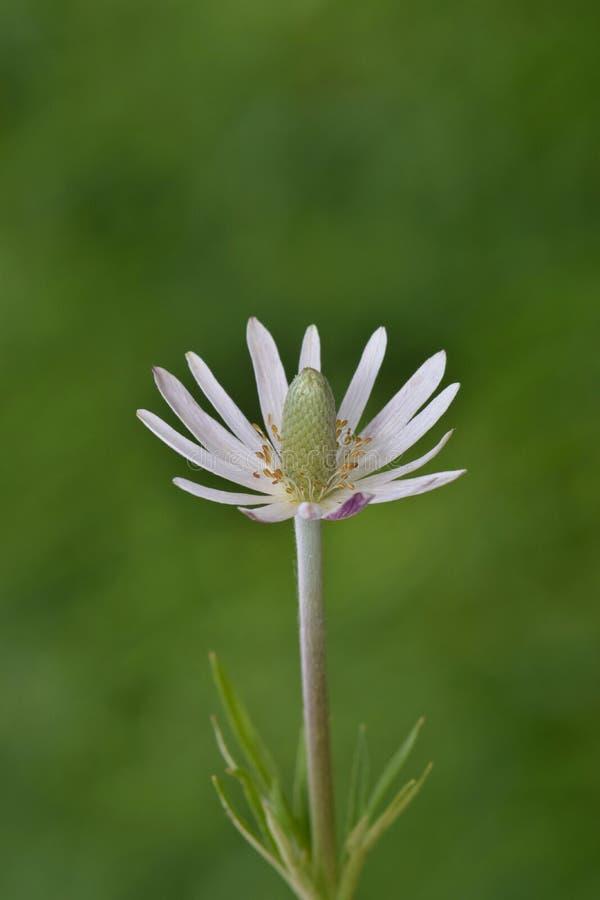 Windflower blanco de Sepaled en la plena floración imagen de archivo libre de regalías
