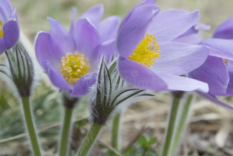 Windflower di fioritura della primavera fotografie stock libere da diritti