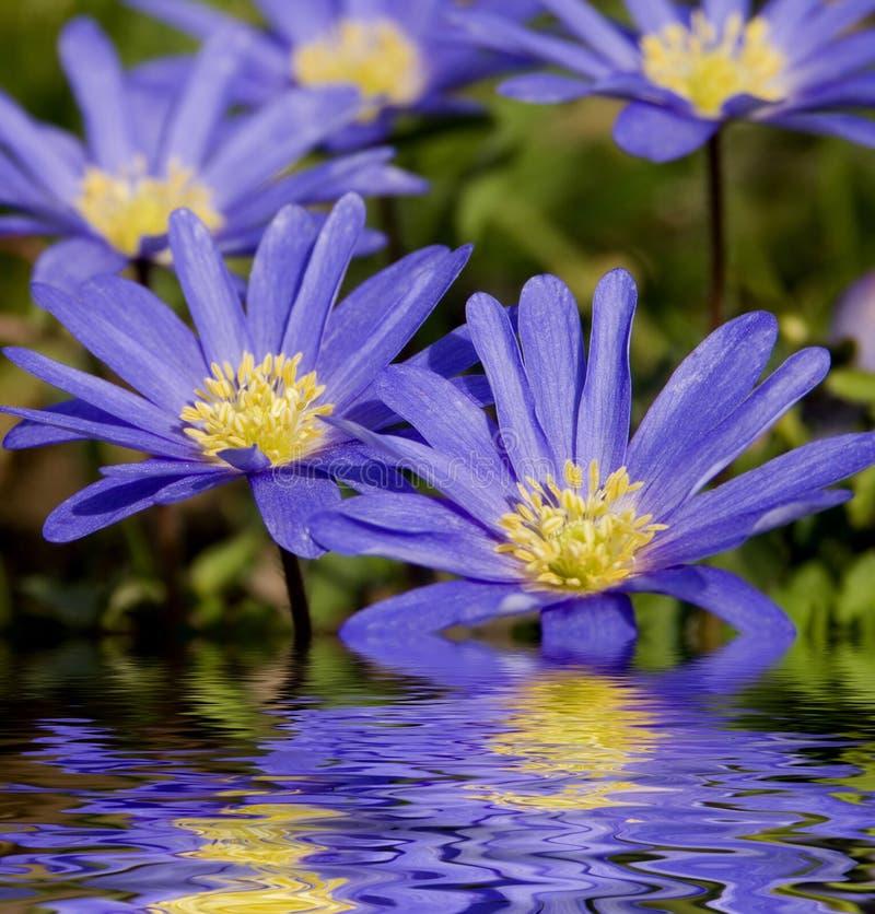 Windflower die in Water wordt weerspiegeld royalty-vrije stock afbeelding