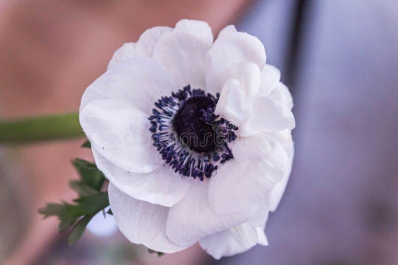 Windflower in Greek. Alone Windflower in Greek. Single Windflower in Greek. royalty free stock photo