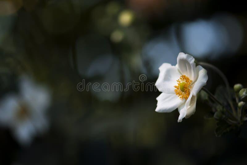 Windflower japonés blanco con el fondo oscuro fotografía de archivo