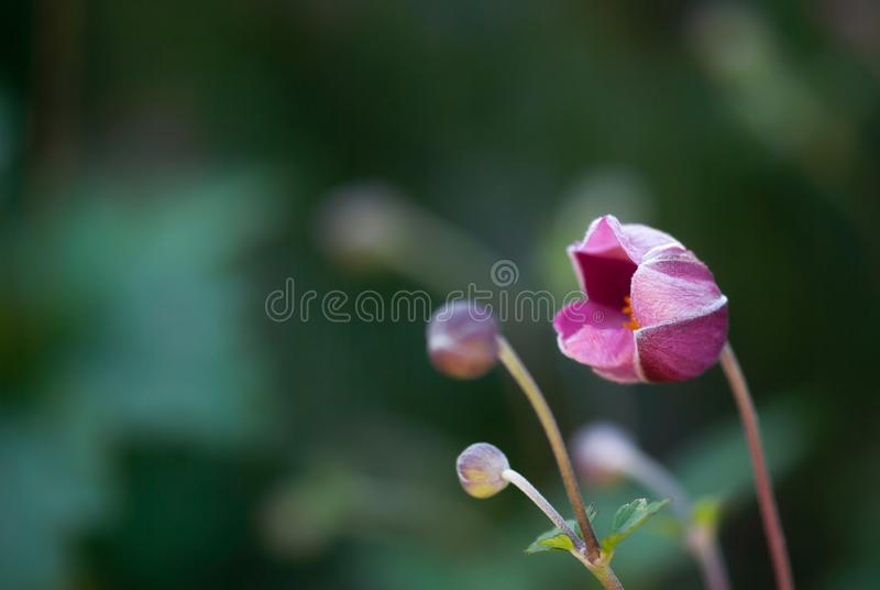 Windflower japonés rosado de apertura foto de archivo
