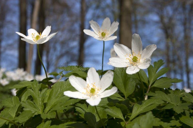 Windflower (nemorosa de la anémona) fotografía de archivo libre de regalías