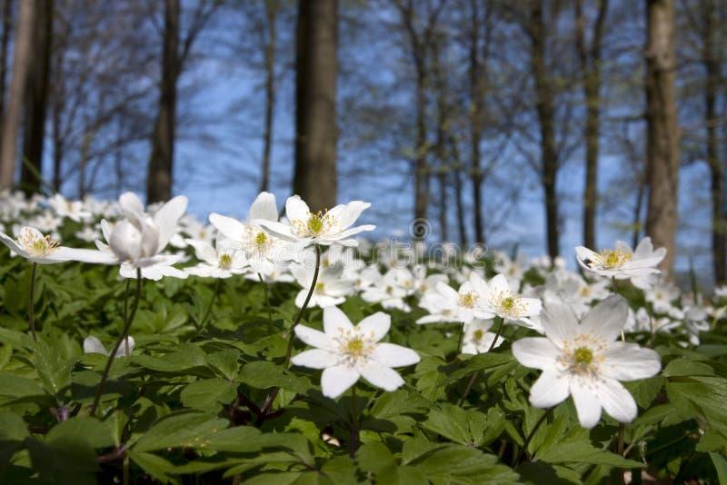 Windflower (nemorosa do Anemone) imagem de stock