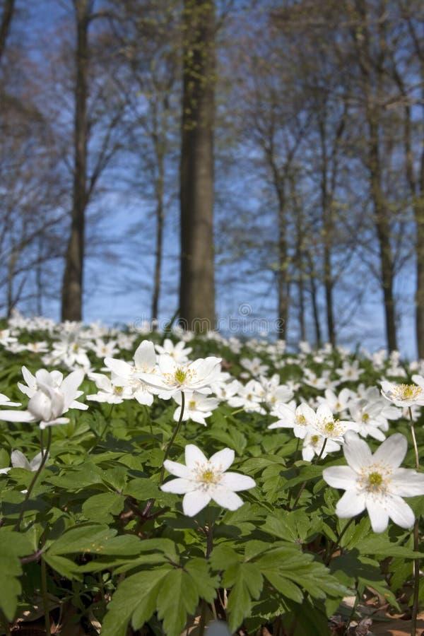 Windflower (nemorosa do Anemone) foto de stock royalty free