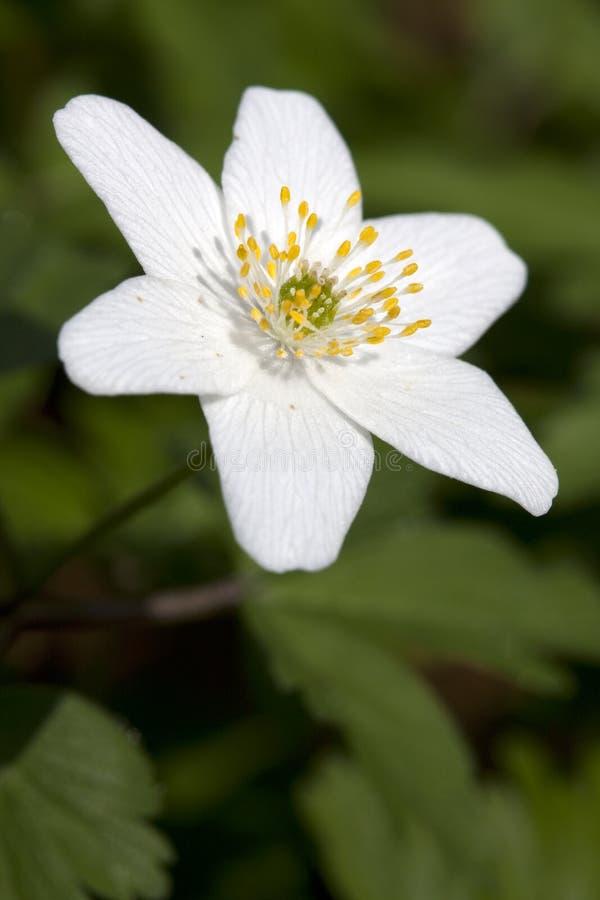 Windflower (nemorosa do Anemone) foto de stock