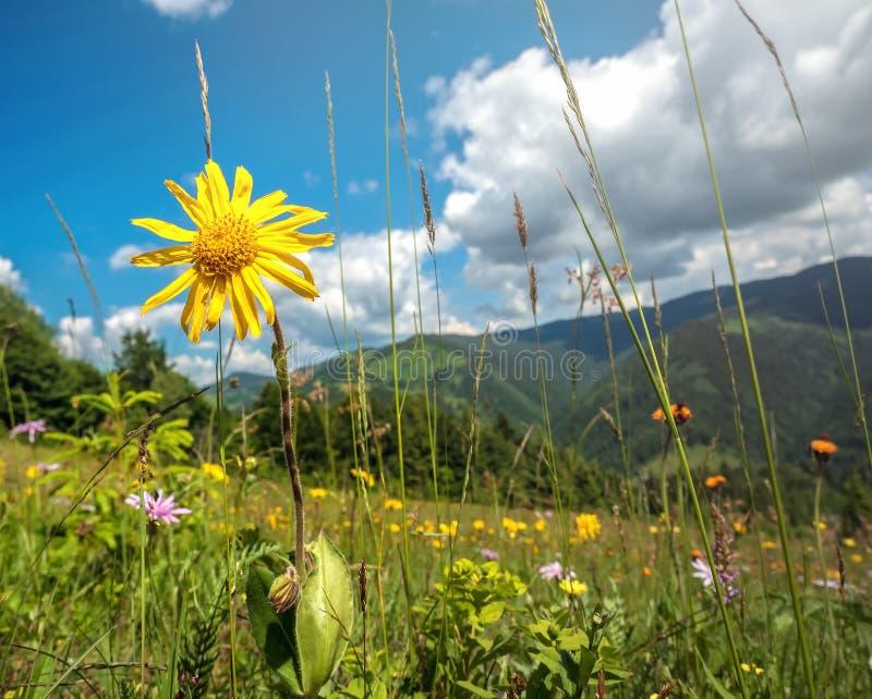Windflowers on alpine meadow of Carpathian mountains in western Ukraine stock image