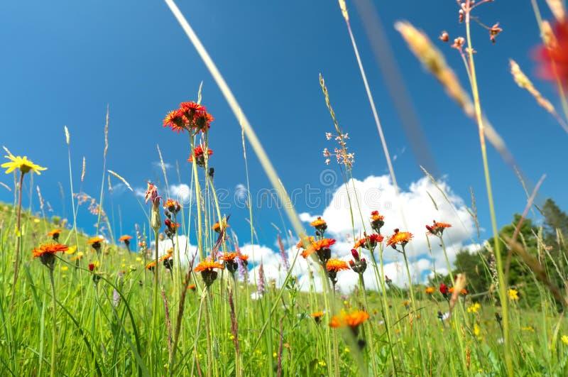 Windflowers of alpine region in Carpathian mountains in western Ukraine stock image