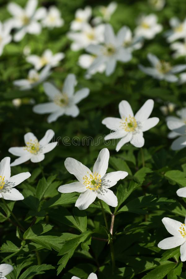 Windflowers crescendo na floresta imagem de stock royalty free
