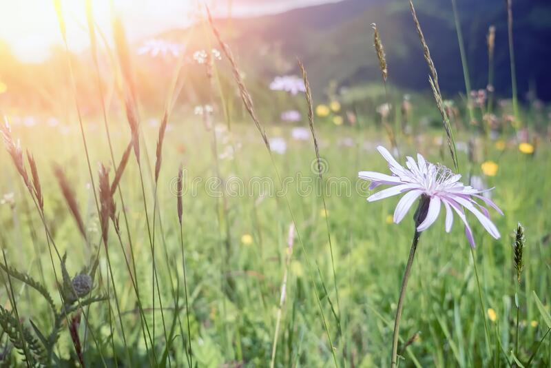 Windflowers under morning sunshine in rural countryside of Carpathian mountains royalty free stock photography