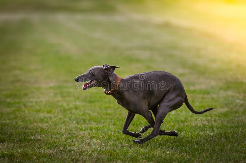 Windhond stock foto's