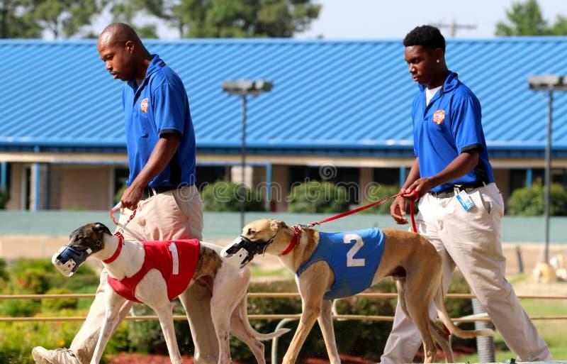Windhond het Rennen Honden die onderaan het Spoor bij Southland het Rennen en Gokkenpark, het Westen Memphis Arkansas worden gele stock afbeelding