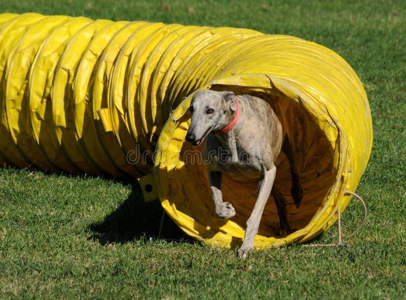 Windhond uit de tunnel royalty-vrije stock afbeelding