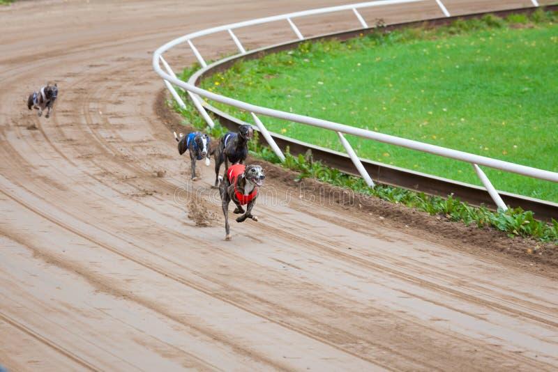 Windhondhonden het rennen royalty-vrije stock foto's