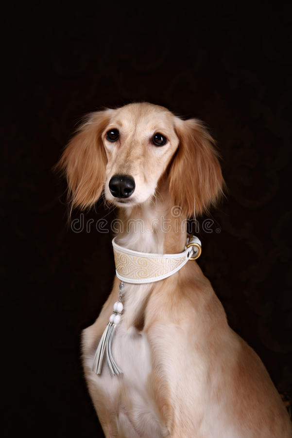 Windhund saluki Hundeporträt lizenzfreie stockbilder