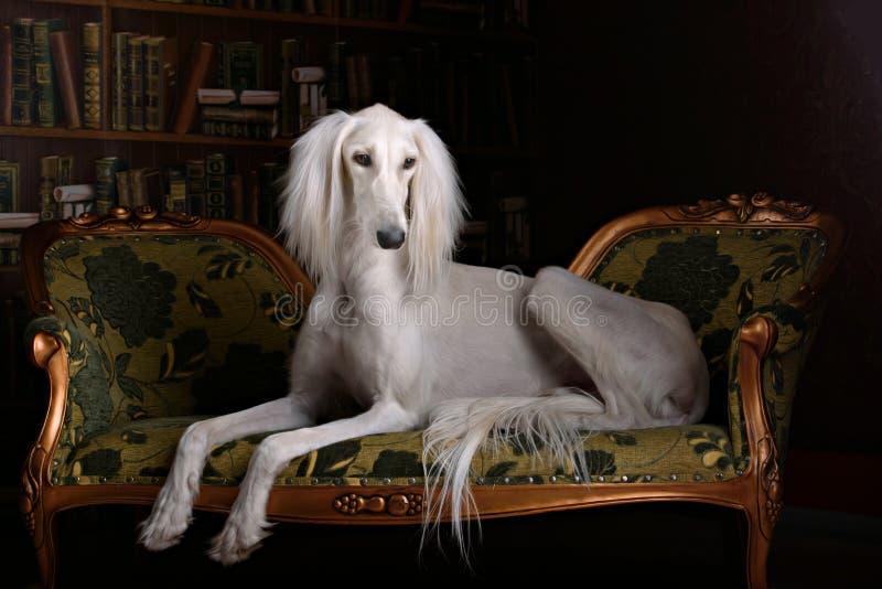 Windhund saluki im königlichen Innenraum stockbild