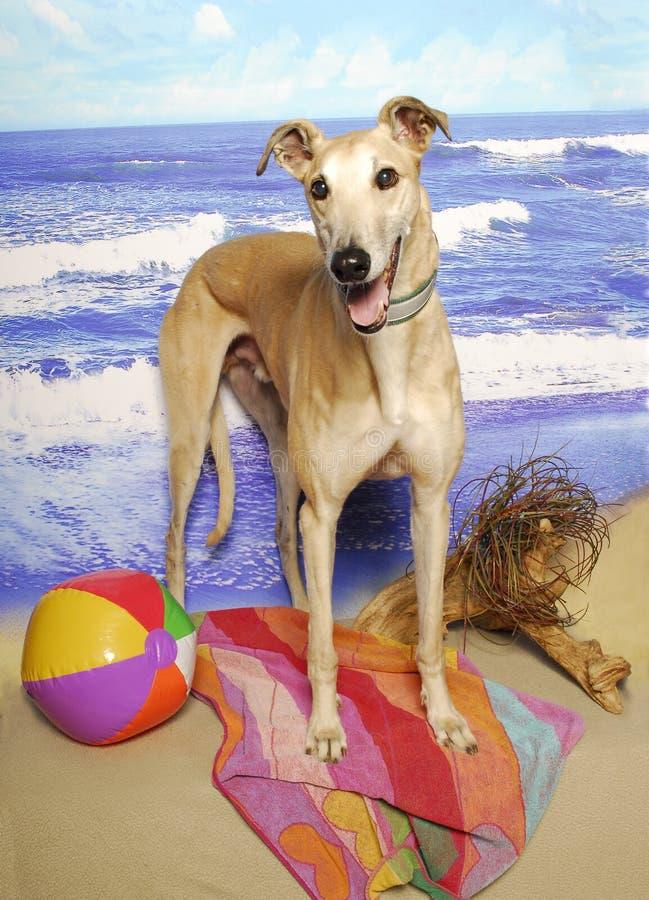 Windhund am Strand stockfoto