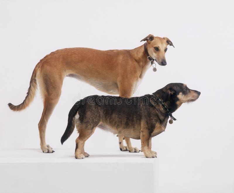 Windhund und Terrier auf weißem Hintergrund stockfotos