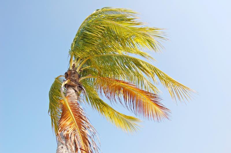 Windige Palme lizenzfreie stockfotografie