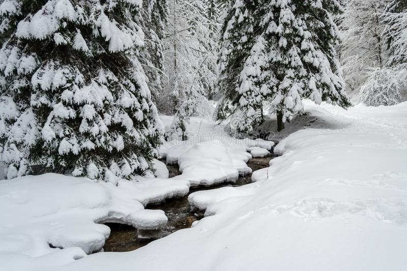 Winding river through deep snow, under white fir trees, in a frozen, cold, Winter day in a mountain forest stock photography