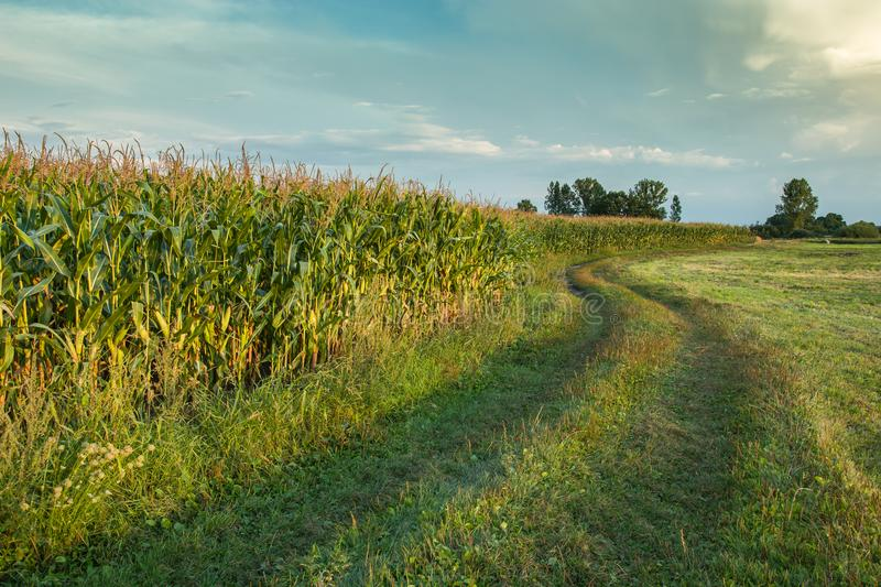 Winding road and corn field royalty free stock images