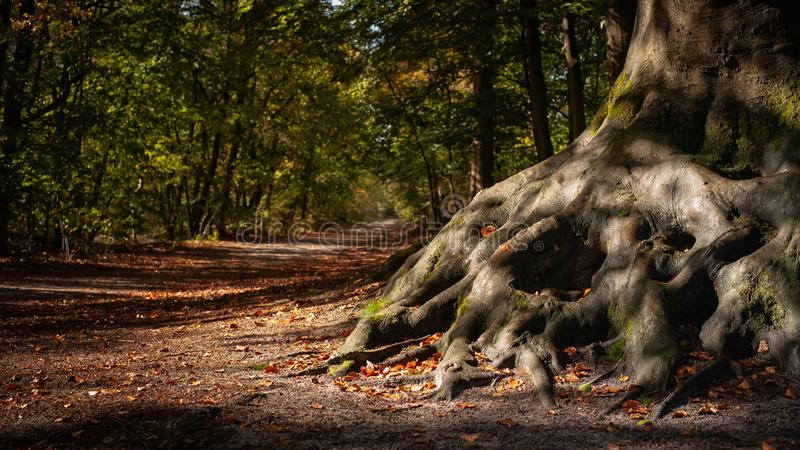 The winding roots of an old tree in the Wood. stock photo
