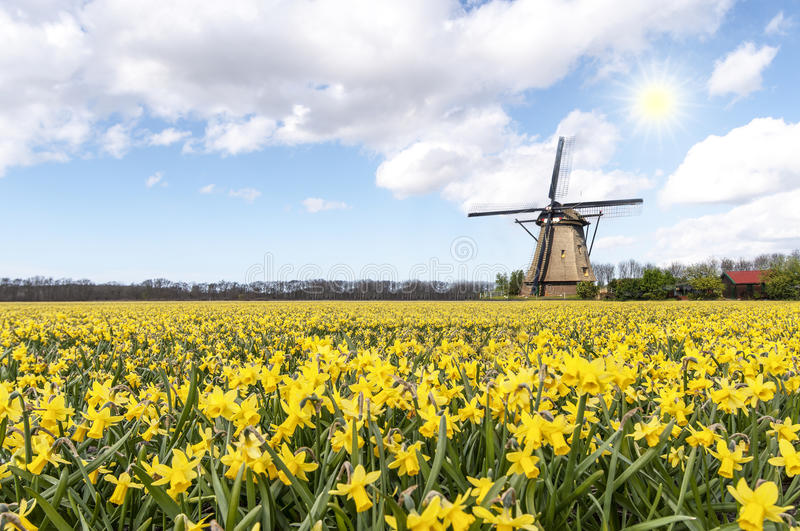 Windmill at the daffodil bulb farm royalty free stock images