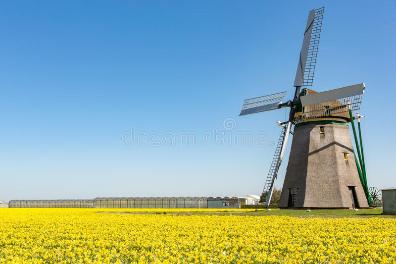 Dutch windmill in a field of yellow daffodils. On a blue sky in Lisse royalty free stock photos