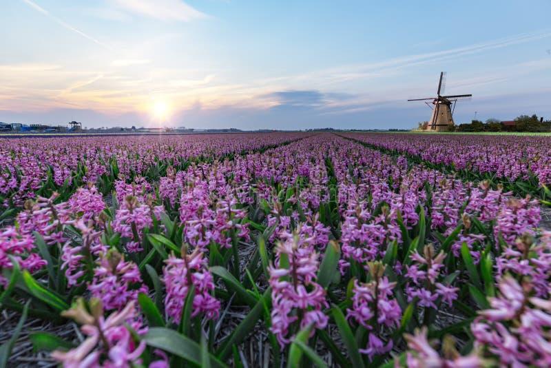 Windmill at the hyacinth Bulb Farm stock photography