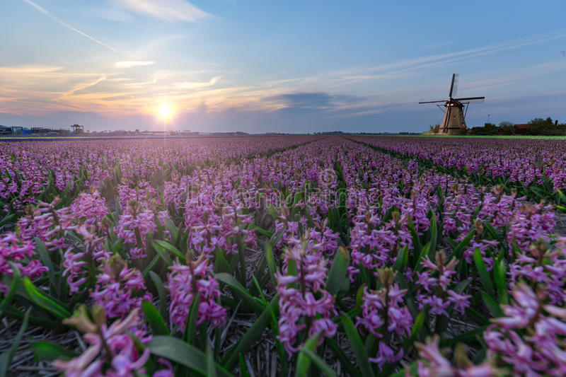 Windmill at the hyacinth Bulb Farm royalty free stock photography