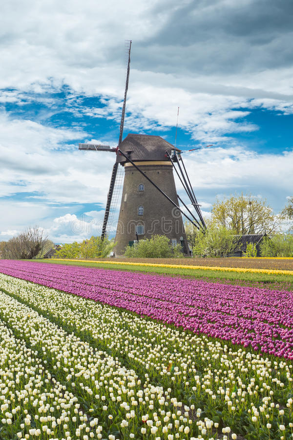 Windmill with tulip field in Holland stock images