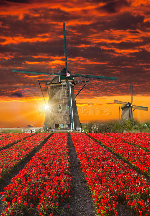 Windmill with tulip field in Holland stock photos