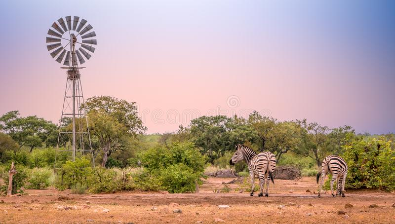 Windmill at waterhole with two zebras drinking. In the morning light stock image